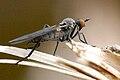 Rhamphomyia.albidiventris2.-.lindsey.jpg