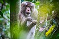 Rhesus Macaque monkey between trees.jpg