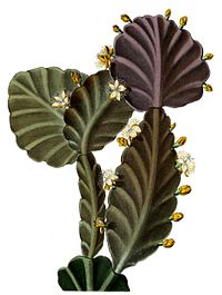 Illustration från Blühende Kakteen[1]