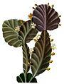 Rhipsalis pachyptera BlKakteenT34.jpg
