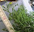 Rhipsalis salicornioides 2.jpg