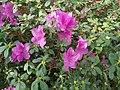 Rhododendron cv. Kiev Grishko 03.jpg