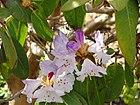 Rhododendron wallichii - University of Copenhagen Botanical Garden - DSC07608.JPG