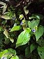 Rhynchoglossum obliquum 09.JPG