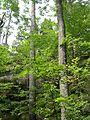 Rim Rock Trail - Scarlet Oak (Quercus coccinea) - Flickr - Jay Sturner (2).jpg