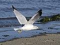 Ring-billed Gull 01.jpg