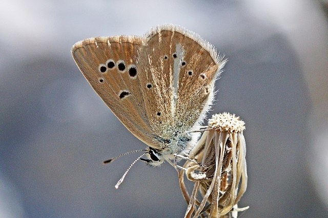 Sưu tập Bộ cánh vảy 3 - Page 42 640px-Ripart%27s_anomalous_blue_%28Polyommatus_ripartii_pelopi%29_underside_Macedonia