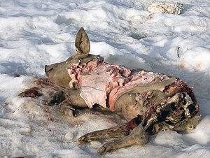 Ayılar tarafından parçalanmış bir domuz