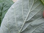 Rock Whitebeam-leaf lower.jpg
