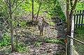 Roe deer Norway May 2019 (1).jpg