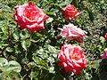 Rosa 'FEusa' Ferrer RPO.jpg