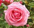 Rosa 'Gene Boerner' (cropped).JPG