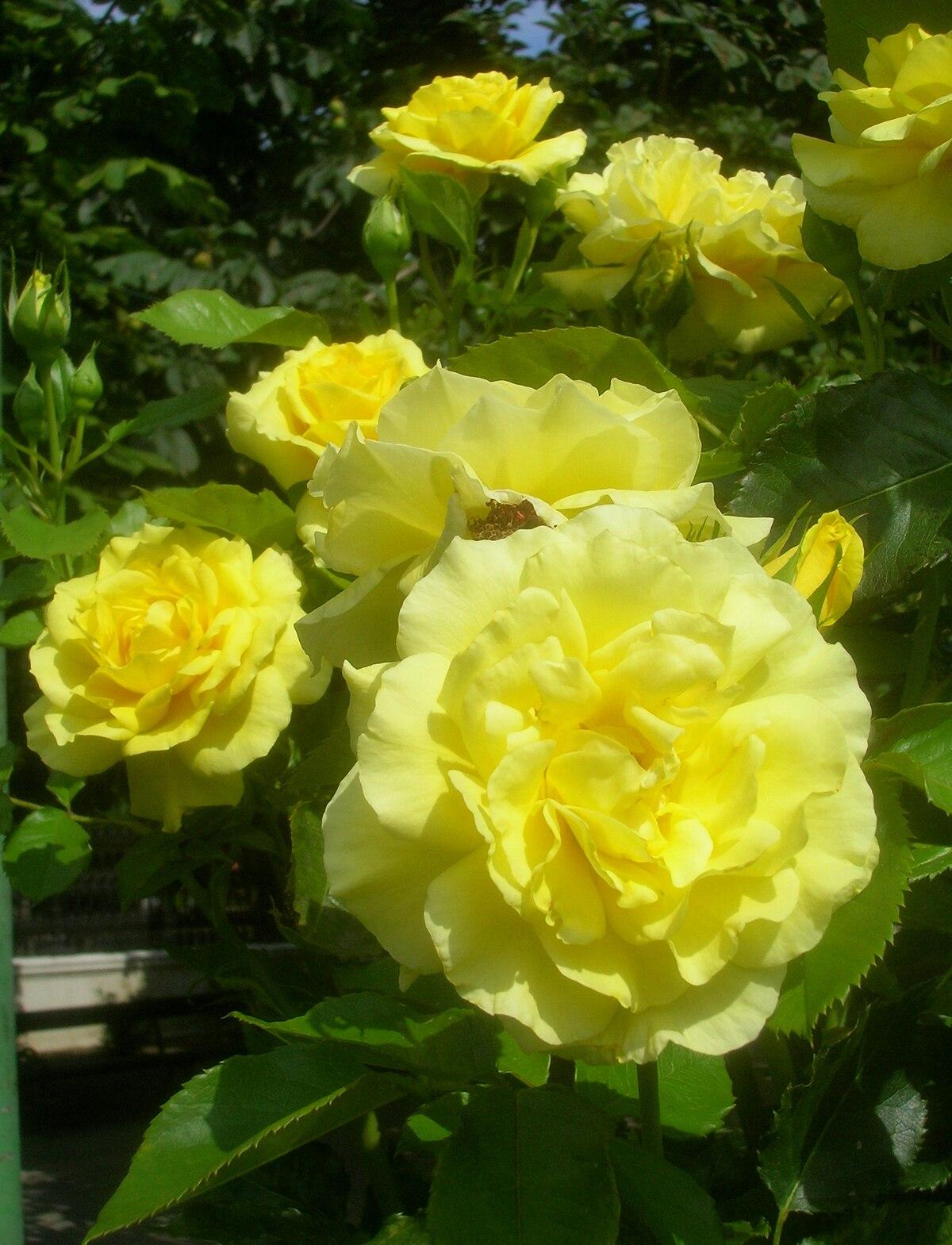 Yellow rose types