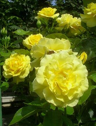 Floribunda (rose) - 'Sunsprite', Kordes 1973