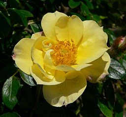 Rosa Lemon Delight 1