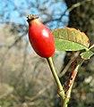 Rosa canina fruit (30).jpg
