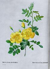 Rosa eglanteria drawing1.jpg