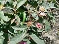 Rosa glauca inflorescence (11).jpg