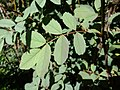 Rosa glauca leaf (03).jpg