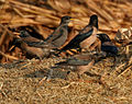 Rosy Starling (Sturnus roseus) near Hyderabad W2 IMG 4832.jpg