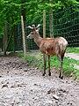 Rothirsch Wildpark.JPG
