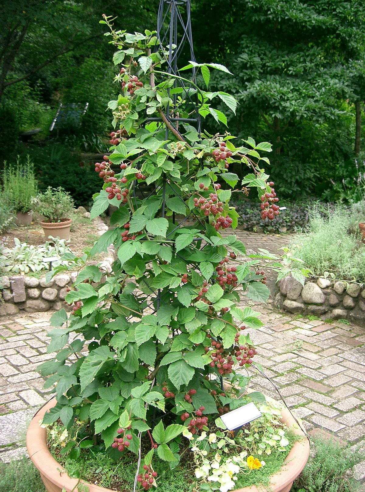 Rubus fruticosus wiktionary for Plants to grow in garden