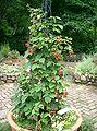 Rubus fruticosus1.jpg