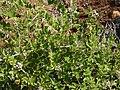 Rubus niveus Thunb. (16657820323).jpg
