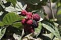 Rubus ssp., Giresun 2018-08-18 4.jpg