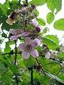 Rubus ulmifolius (2484344756).jpg