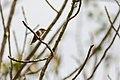 Rufous hummingbird (33148124211).jpg