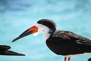 Black skimmer - In Florida, USA