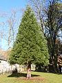 Séquoia géant numéro 5.JPG