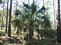 Sabal Pine at St Marks NWR.JPG