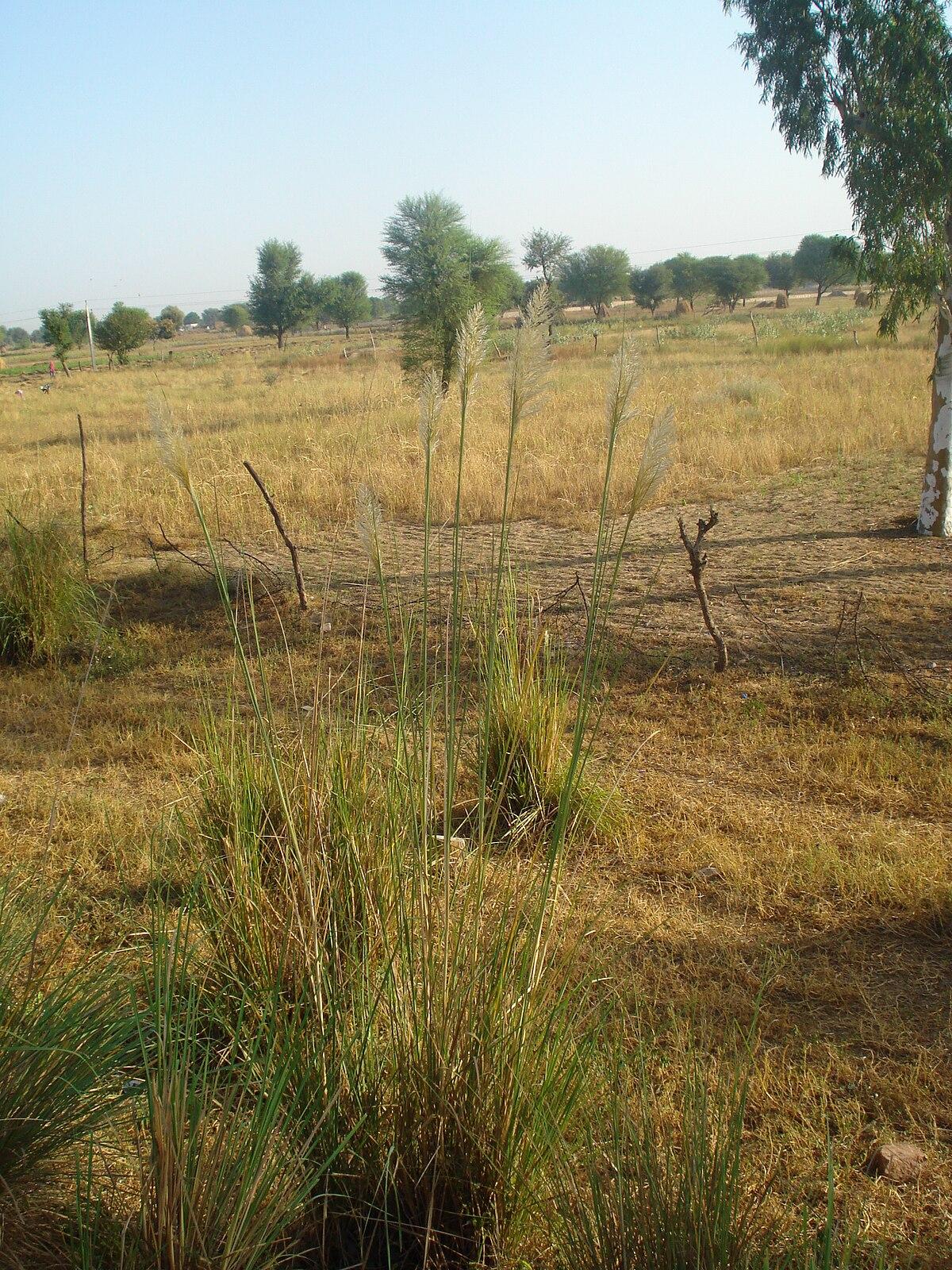 Saccharum munja wikipedia for Uses of soil wikipedia