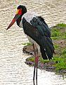 Saddle-billed Stork (Ephippiorhynchus senegalensis) female (33027423052).jpg