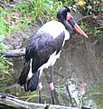 Saddle Billed Stork.jpg