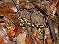 Salamandra salamandra in Savoie.JPG
