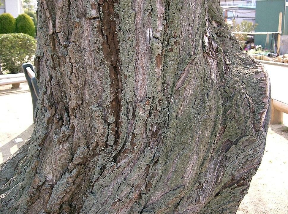 Salix babylonica2