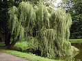 Salix x sepulcralis 7845.jpg
