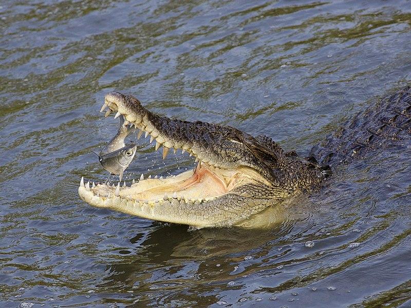 https://commons.wikimedia.org/wiki/File:Saltie-eats-fish-LKY-3.jpg