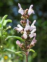Infiorescenza Salvia fruticosa