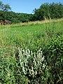 Salvia aethiopis sl17.jpg