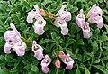 Salvia caespitosa 2.jpg