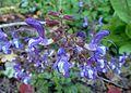 Salvia forsskaolei kz1.jpg