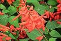 Salvia splendens 7240.JPG