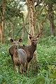 Sambar Deer DSC 5374.jpg