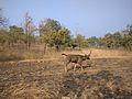 Sambhar Deer 2.jpg