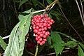 Sambucus racemosa (8016821867).jpg