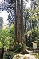 Sanbonsugi at Oiwa Shrine, Ibaraki 02.jpg